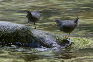 Fledgling and male adult from Main St. bridge in Lithia Park photo by Bob Arrigoni