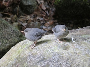 Bridge 3 fledglings