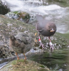 American Dipper male and fledgling, 5-5-2014, Ashland Creek