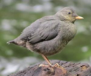 dipper fledgling, 5-9-2014, Ashland Creek