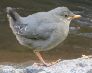 Dipper Fledgling (whitey), 5-7-2014, Ashland Creek