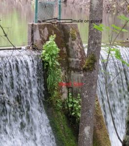 dipper nest, 5-28-2014, reservoir dam