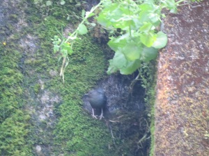 dipper before entering nest, 6-5-2014, reservoir dam