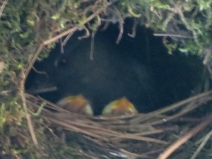 dipper nest, 6-8-2014, Emigrant Creek bridge