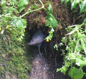dipper feeding nestlings, 6-26-2014, reservoir dam