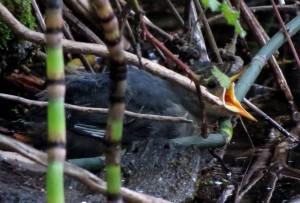 dipper fledgling, 6-29-2014, feeding time