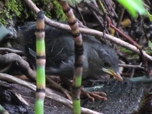 dipper fledgling, 6-29-2014, reservoir dam