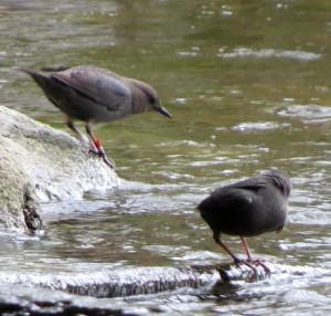 IMG_8254 dipper pair, 04-07-2015, Bluebird Park