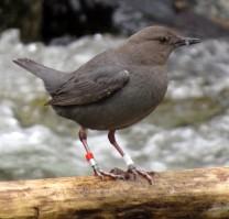 IMG_8273 feeding dipper, 04-07-2015, bluebird park