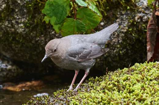 dipper at bridge 2