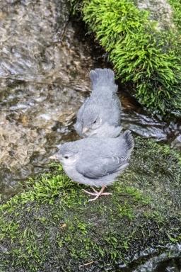 fledgeling pair