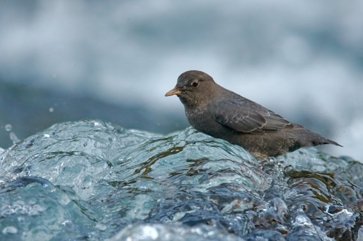american-dipper-on-the-smith-river-3