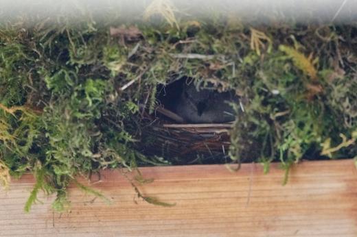dipper on nest Bridge 1