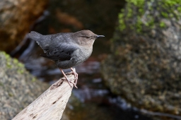 american dipper below bridge 1