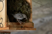 main st. dipper nest 2